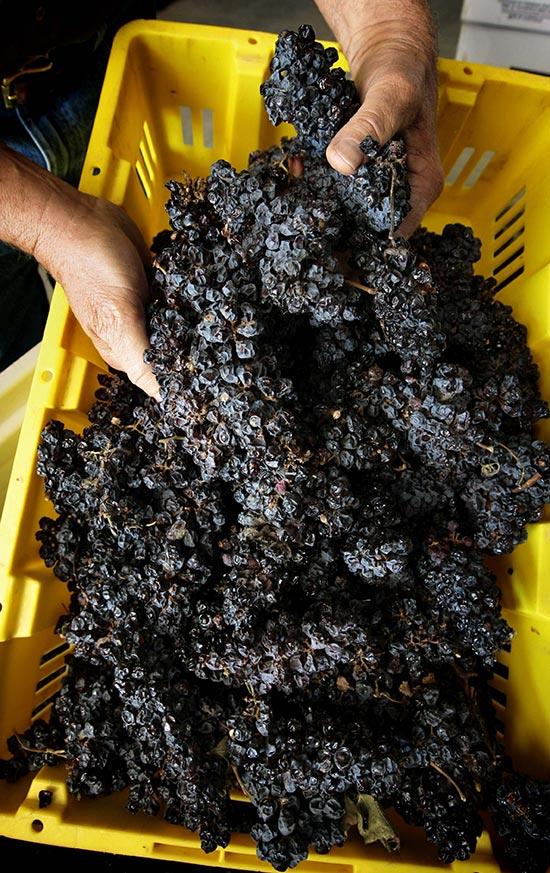 freeman-vineyards-drying-grapes-1