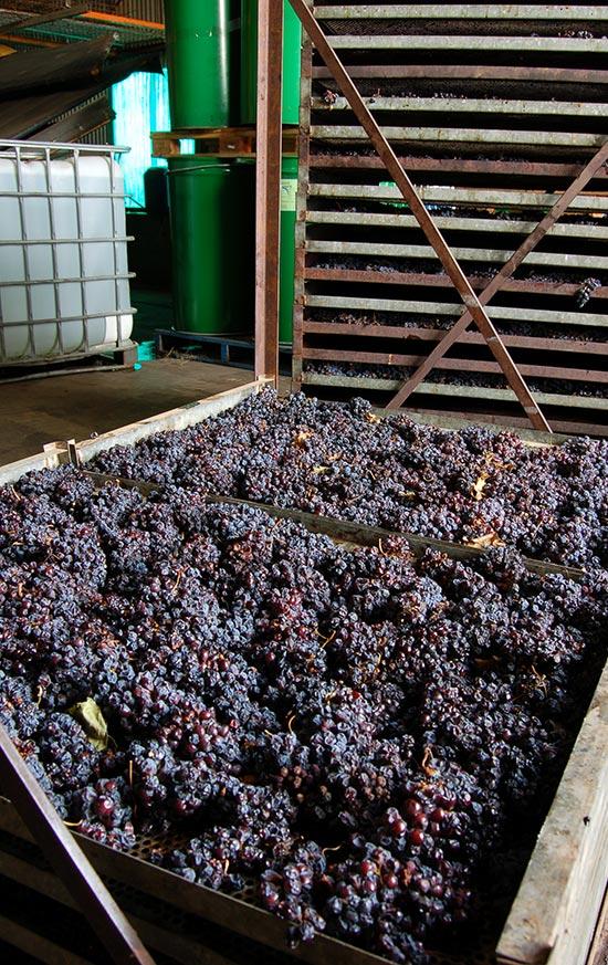 freeman-vineyards-drying-grapes-2