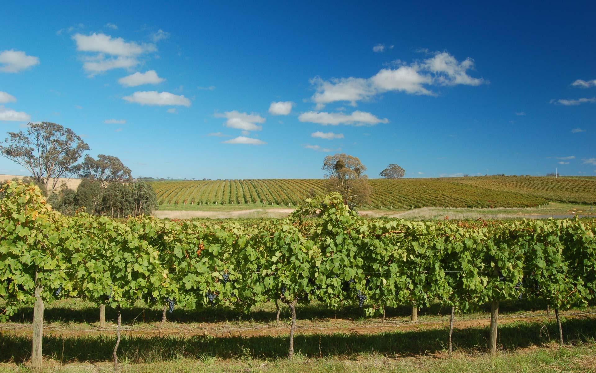 Image result for freeman vineyard hilltops