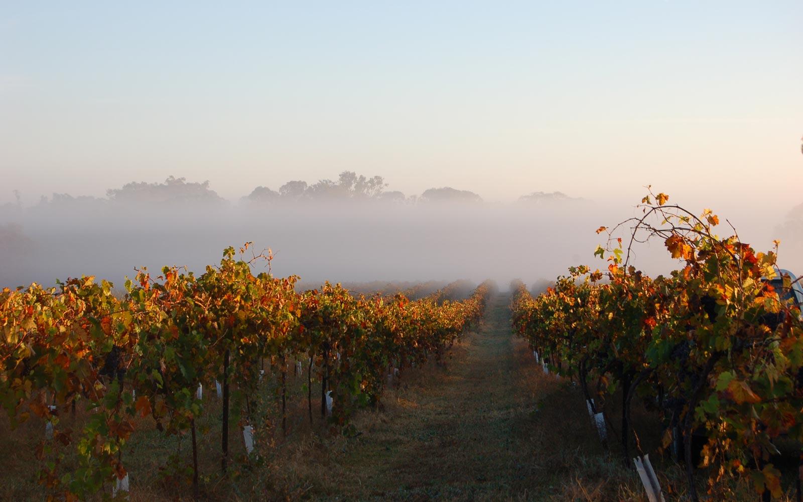 Image result for freeman vineyard hilltops prosecco grapes
